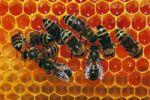 пчелиное маточное молочко - royal gano eworldwide